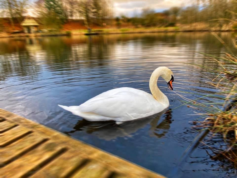 Swan at Kinross Trout Fishery